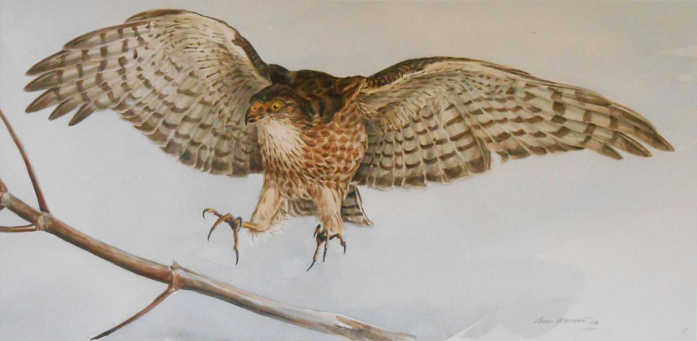Sharp-Shinned Hawk landing on branch