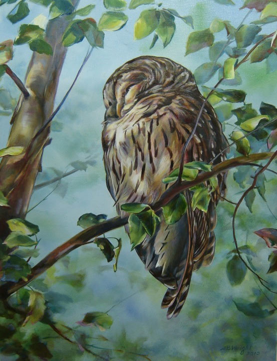 barred owl sleeping on tree branch