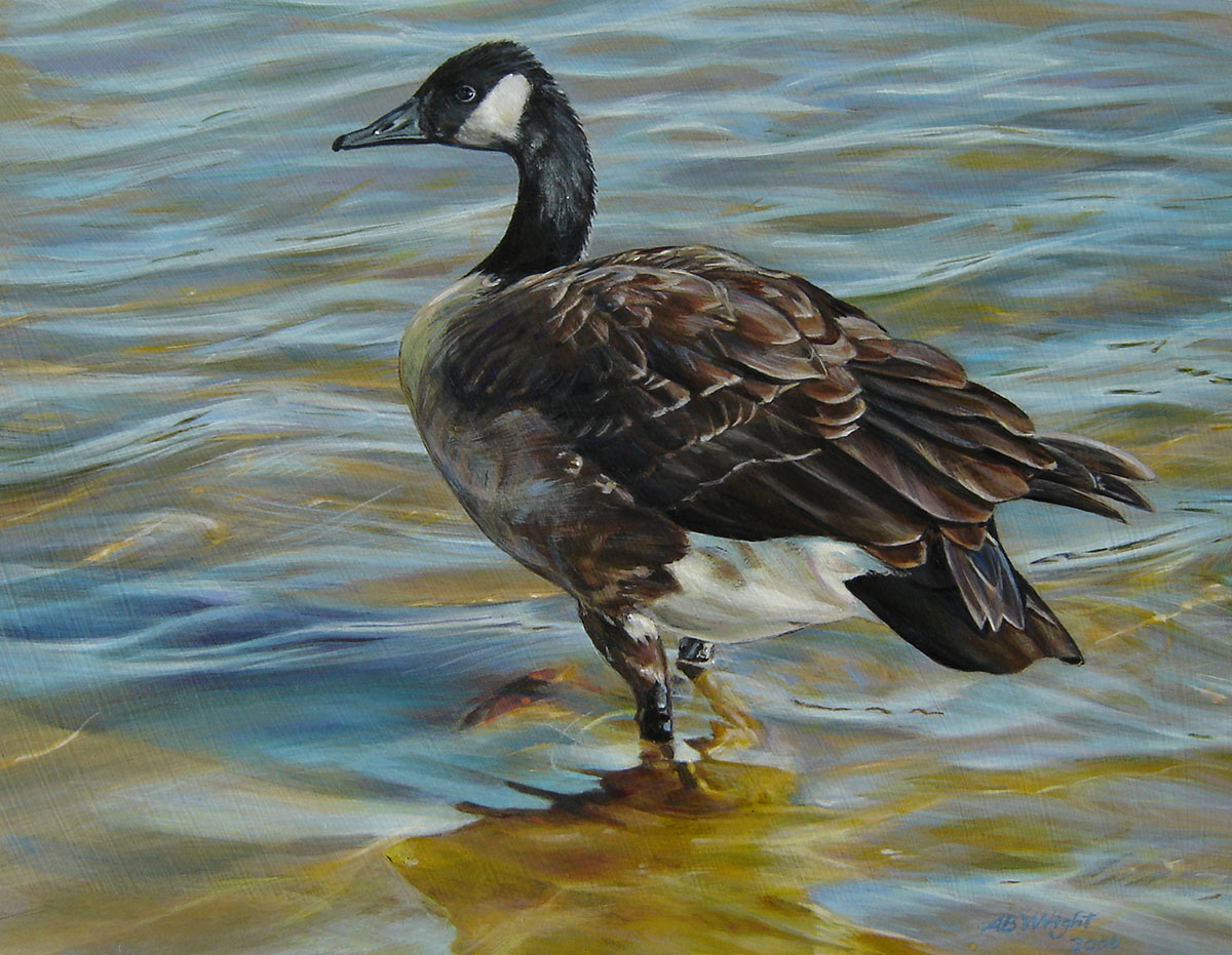 wary Canada goose ankle deep in water