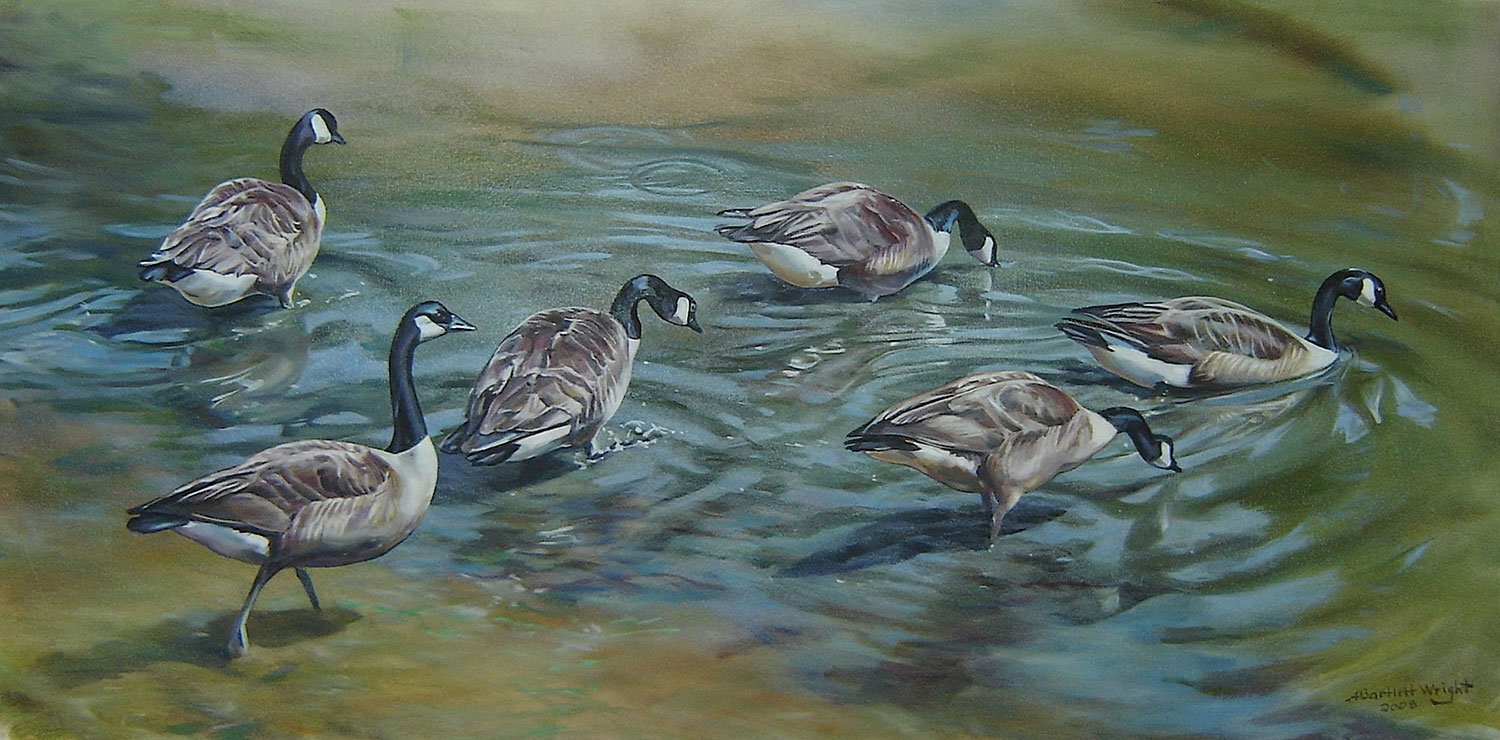 small flock of Canada geese entering a pond